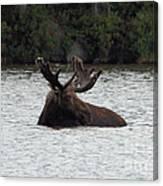Bull Moose - 3587 Canvas Print