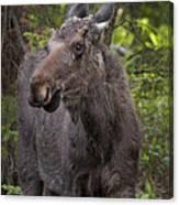 Bull Moose   #5654 Canvas Print
