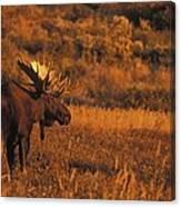 Bull Moose At Sunset Canvas Print