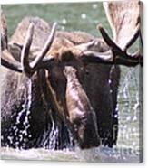 Bull Moose Feeding Canvas Print