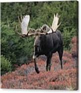 Bull Moose In Autumn Canvas Print