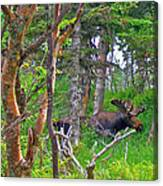 Bull Moose In Cape Breton Highlands Np-ns Canvas Print