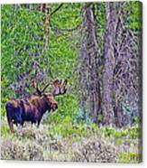 Bull Moose In Gros Ventre Campground In Grand Tetons National Park-wyoming Canvas Print