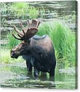 Bull Moose In The Wild Canvas Print