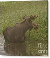 Bull Moose Looking Around  Canvas Print