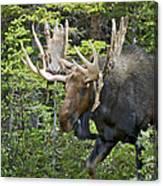 Bull Moose Shedding Velvet Canvas Print