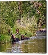 Bull Moose Summertime Spa Canvas Print