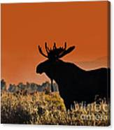 Bull Moose Sunset Canvas Print