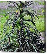 Bull Nettle Canvas Print
