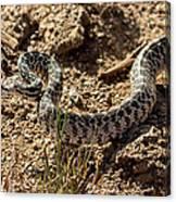 Bull Snake Canvas Print