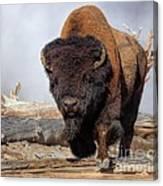 Bull Strut Canvas Print