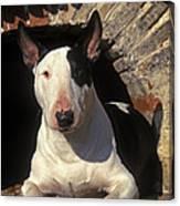 Bull Terrier Dog Canvas Print