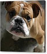 Bulldog Portrait Canvas Print