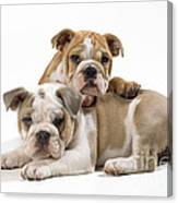 Bulldog Puppies, One On Top Of The Other Canvas Print