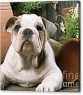 Bulldog Puppy With Flowerpots Canvas Print