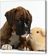 Bulldog Puppy With Yellow Guinea Pig Canvas Print