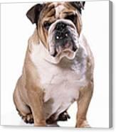 Bulldog Sitting Canvas Print