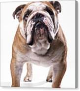 Bulldog Standing, Facing Camera Canvas Print