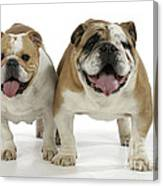 Bulldogs, Male And Female Canvas Print