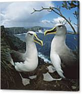 Bullers Albatrosses On Storm-lashed Canvas Print