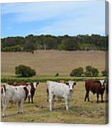 Bulls And Cow Canvas Print