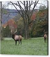 Bulls Of Fall Canvas Print