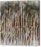 Bulrushes Canvas Print