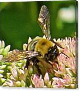 Bumble Bee 104 Canvas Print