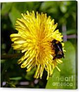 Bumble Bee And Dandelion Canvas Print