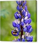 Bumble Bee And Lupine Canvas Print