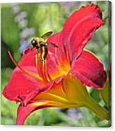 Bumble Bee In Day Lily 109 Canvas Print
