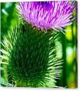 Bumble Bee On Bull Thistle Plant  Canvas Print