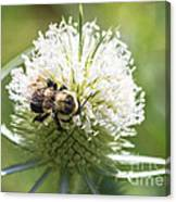 Bumble Bee On Button Bush Flower Canvas Print