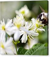 Bumble Bee On Clematis Canvas Print