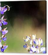 Bumble Bee On Lupine Canvas Print
