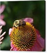 bumblebee and Echinacea Canvas Print