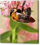 Bumblebee Clinging To Sedum Canvas Print
