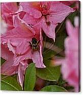 Bumblebee In Pink Canvas Print
