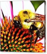 Bumblebee On Echinacea  Canvas Print