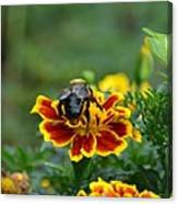 Bumblebee On Marigold Canvas Print