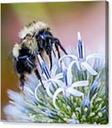 Bumblebee On Thistle Blossom Canvas Print
