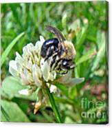 Bumblebee On White Clover Canvas Print