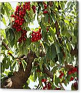 Bumper Crop - Cherries Canvas Print