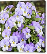 Bunch Of Pansy Flowers Canvas Print