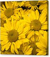 Bunch Of Yellow Daisies Canvas Print