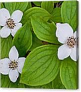 Bunchberries Canvas Print