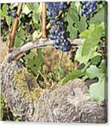 Bunches Of Red Wine Grapes Growing On Vine Canvas Print