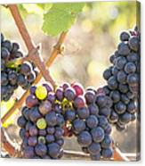 Bunches Of Red Wine Grapes Hanging On Grapevine Canvas Print