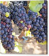 Bunches Of Red Wine Grapes Canvas Print