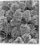 Bundled Dried Grass Canvas Print